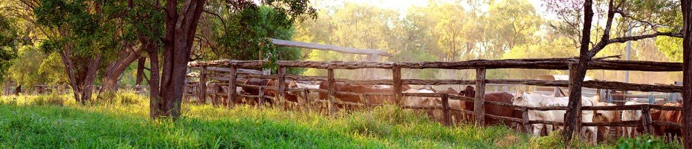 Cattle behind a fence on Texas ranch