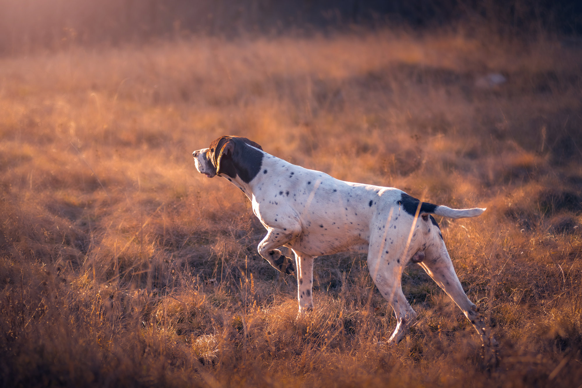 photo of German short hair pointer on point