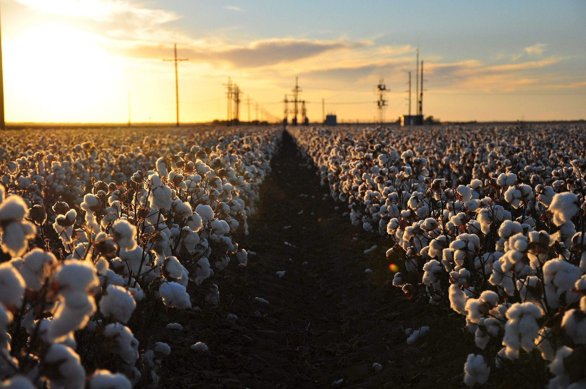 cotton-feild-flower-dawn-harvest-production