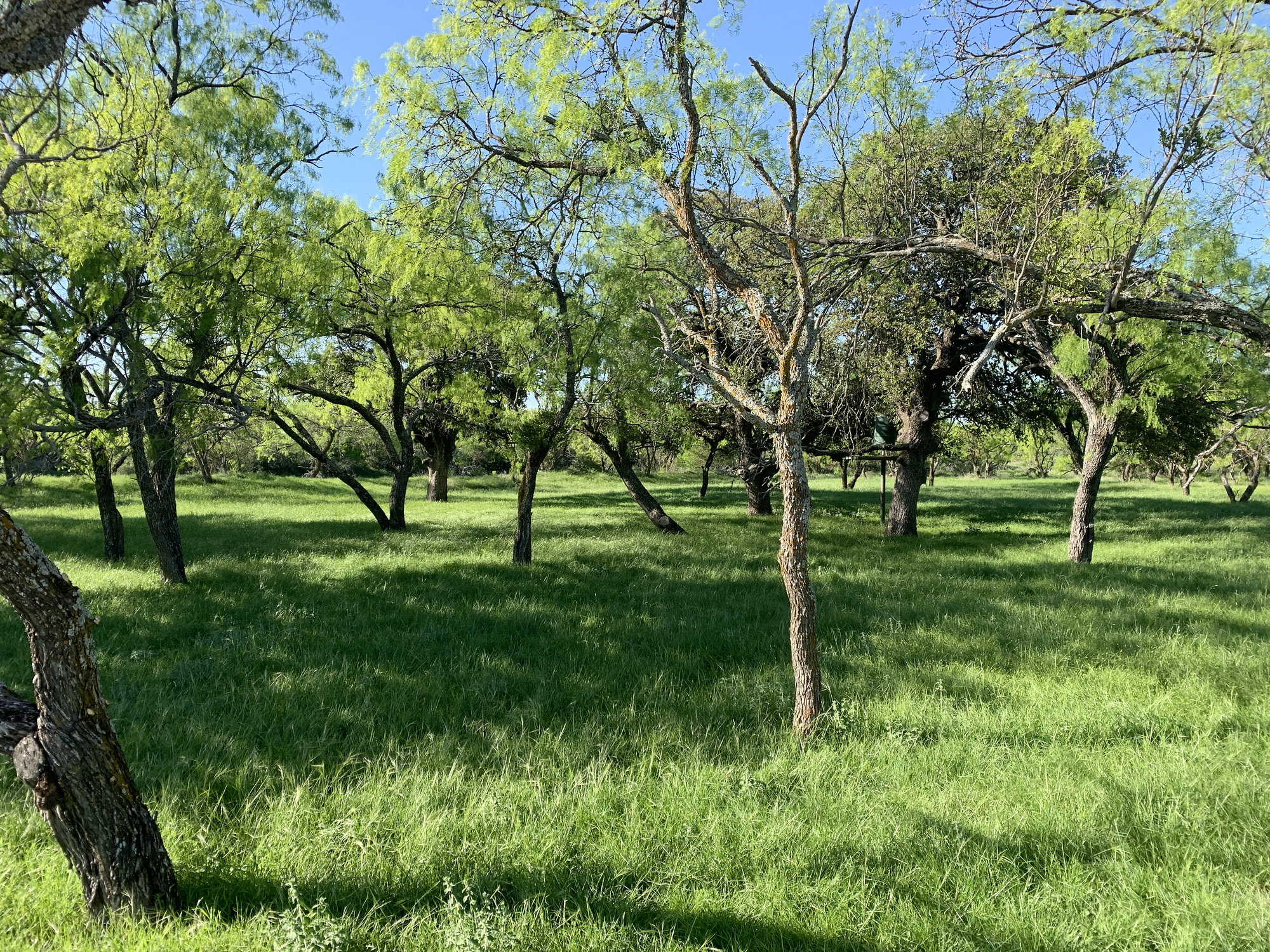 Mesquite Tree Meadow